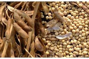 FAO: световното производство на соя ще спадне с 10%