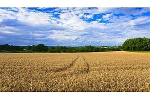 Украйна: 77% от планираната площ за зърнени и бобови култури е засята