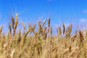 Румънска хлебна пшеница заминава за Джибути