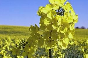 Отличното време води до спад на цените на пшеница, царевица и рапица.