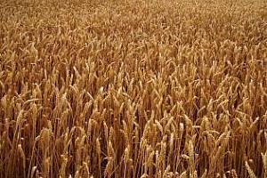 Цената на пшеницата на международните пазари остава потисната