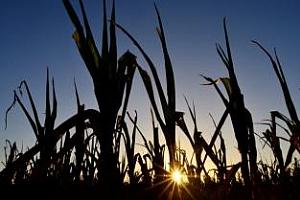 Аржентина ще увеличи износа на царевица през 2012/13 МГ