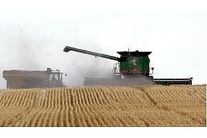 Рапица и пшеница твърди на МАТИФ, царевицата разколебана