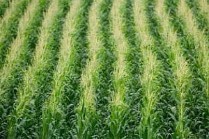 Бразилия: прогнозата за добива на царевица през 2011/12 МГ бе увеличена до 65 млн тона