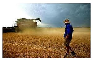 Пшеницата опитва да изтрие годишният си спад