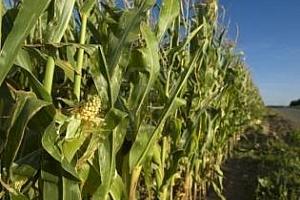 Франция: площта на царевица за нехранителни цели ще се увеличи с 4,5%