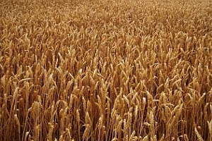 Алжир купува голяма партида с хлебна пшеница за септември