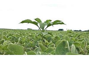 Министерството на селското стопанство на САЩ прогнозира рекорд в световното производство на соя за 2012/13
