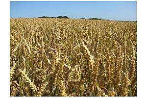 Алжир договаря 550 кмт хлебна пшеница за февруари