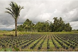 За 2012 стойността на палмовото масло няма да бъде под MYR3000/т