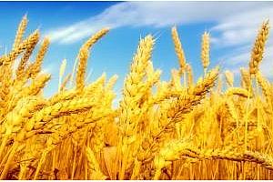 Финални оферти за търговете за пшеница в Етиопия и Бангладеш
