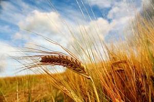 Пшеница и ечемик договаря Йордания