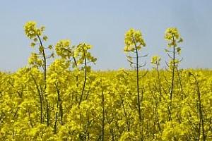 Световното производство на рапица за 2012/13МГ може да спадне