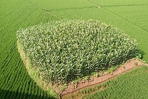 Китай: през 2012 година производството на царевица ще достигне рекордните 197,5 млн тона - CNGOI