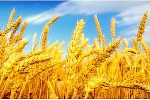 Египет с пореден търг за хлебна пшеница