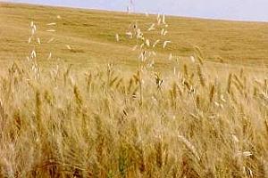 Има нужда от оше валежи в ЕС - Strategie grains