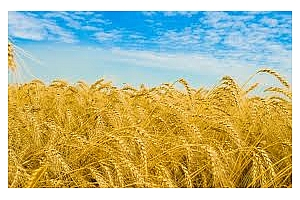 Йордания със шести отменен търг за пшеница