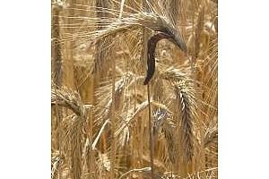 Египет отхвърля два товара с общо 40 кмт полска и канадска пшеница