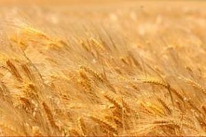 Украинска и руска пшеница печелят египетския търг
