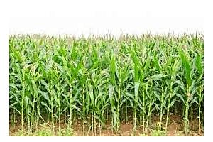 Индия в опит да закупи 320 кмт не-ГМО царевица