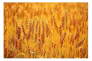 Южна Корея отхвърля карго с аржентинска пшеница