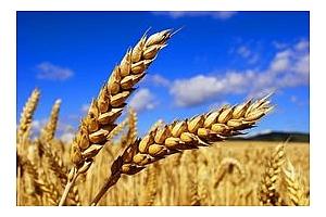 Частни вносители от Израел с покупка на 55 кмт пшеница