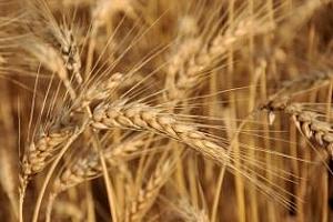 Тунис и Йордания са обявили търгове за хлебна пшеница