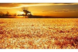 Цената на пшеницата в България достига върхови стойности
