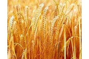 Йордания купува 50 кмт фуражен ечемик и  50 кмт твърда пшеница