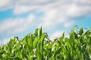 В Румъния и Германия планират увеличение на посевите с царевица