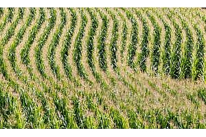 Царевица и фуражна пшеница са закупени от Южна Корея