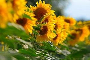 ЕС-27: производството на слънчоглед ще достигне рекордните 8,3 млн. т