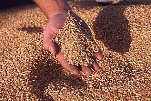 Половината жито на черно