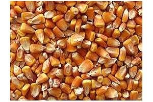 Вносители от Южна Корея купуват 125кмт фуражна царевица