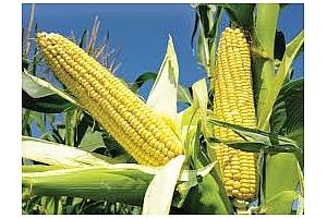 Южна Африка очаква рекордна реколта от царевица