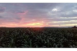 Южна Корея договаря 700кмт царевица реколта 2017
