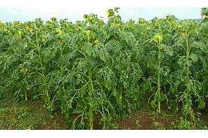 Сериозни щети по реколтата в Северна България