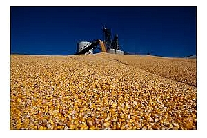 Тайван ще провежда търг за покупка на 130кмт царевица