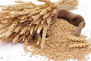 Ирак купува 50кмт твърда пшеница