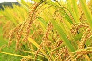 Ирак е закупил 60кмт ориз
