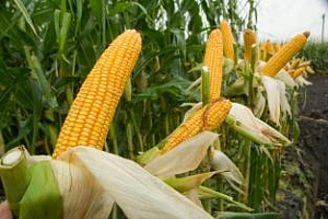 Към 2020 година, Китай може да внася по 20Ммт царевица годишно