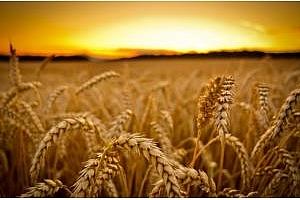 Пшеницата в България вече е почти колкото на МАТИФ