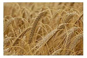 Йордания плаща повече за ечемик отколкото за пшеница
