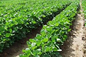 Соевите посеви от реколта 2012/13 МГ в Южна Америка ще се увеличават