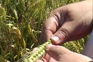 Сложните метеорологични условия в Украйна и Русия доведоха до понижаването на оценките за бъдещата реколта