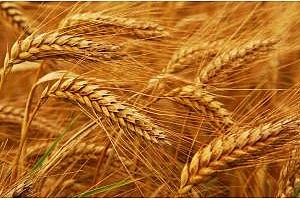 Алжир договаря 400кмт пшеница за март 2018