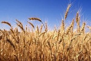 Септемврийските фючерси за пшеница от Черноморския басейн останаха на ниво $255/т