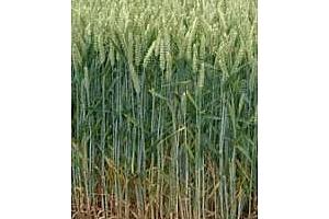 Сирия ще купува и българска хлебна пшеница