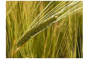 Заради високи цени на ечемика Иран купува царевица