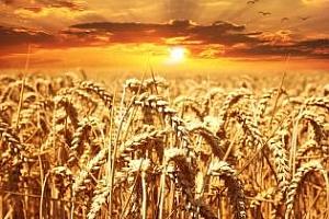 ЕК понижава реколтата от пшеница в ЕС през 2017